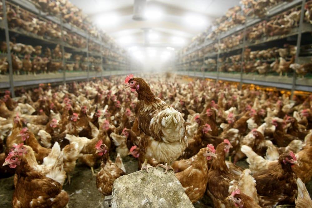 Brexit: polli lavati con acido dagli usa vietati nella UE